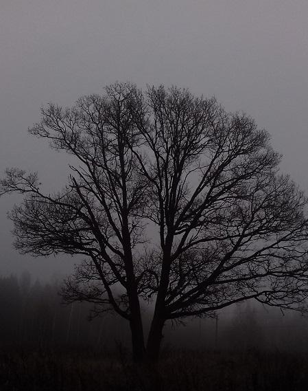 дуб в тумане
