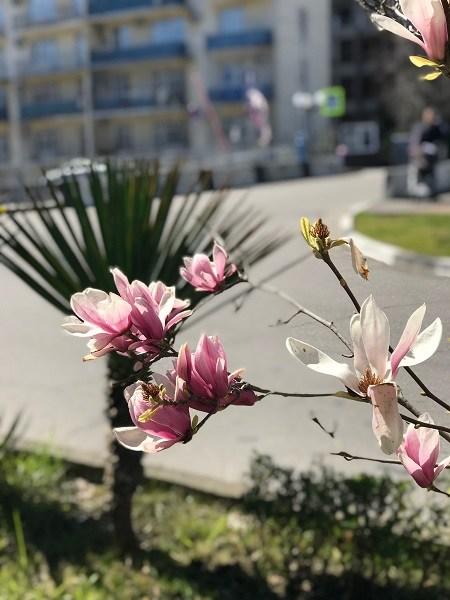 магнолия цветет
