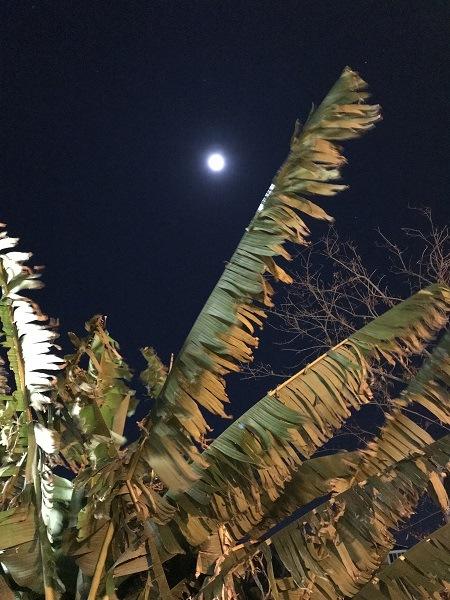 луна и банановая пальма