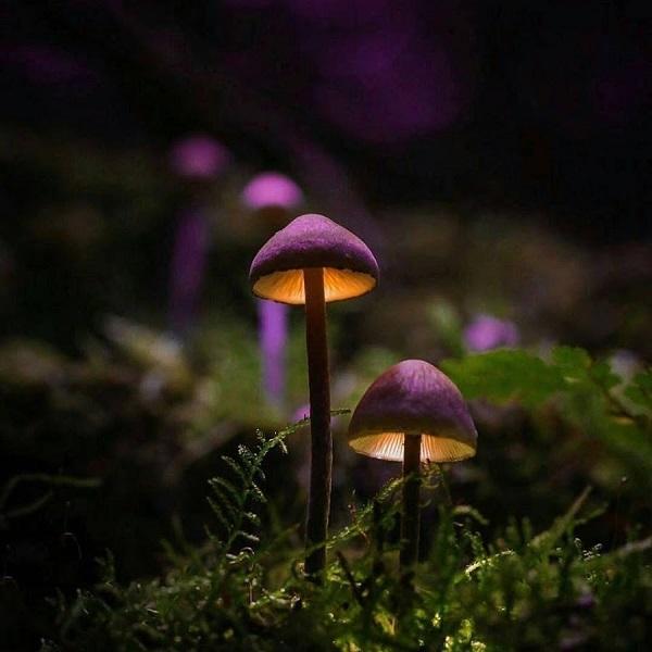 фиолетовые грибы